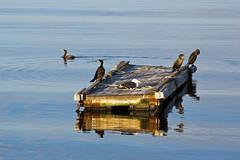 Birds in the bay, Rockport, Massachusetts (Miche & Jon Rousell) Tags: usa fall autumn massachusetts rockport bay ocean atlanticocean atlantic water cormorant boats blue