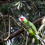 Red-lored amazon parrot perched on tree thumbnail
