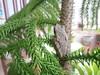 DSC03265 (bigboy2535) Tags: sticky frog baan oliver christmas tree hua hin thailand