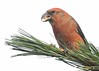 Loxia curvirostra (kaius.artimo) Tags: loxiacurvirostra redcrossbill male helsinki feeding macedonianpine