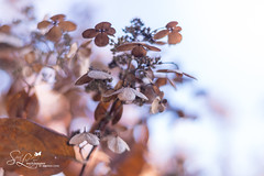 Feeling Defeated (amndcook - happy & blessed) Tags: dof season nature spiritledphotography amandacook fall michigan depthoffield november photograph wildlife outside hydrangea outdoors seed bloom photo pentax macro