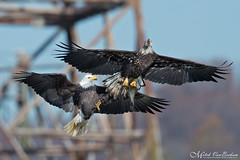 Steal Away (Bald Eagles) (Mitch Vanbeekum Photography) Tags: baldeagle baldeagles fighting stealing fish fishing fight two 2 conowingo conowingodam md maryland eagle adult 3yearold 4yearold 34yearold mitchvanbeekum mitchvanbeekumcom canon14teleconvertermkiii canoneos1dx canonef500mmf4lisiiusm haliaeetusleucocephalus flight flying inflight fly