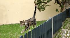 La passeggiata dell'equilibrista - The acrobat's walk (Raffa2112) Tags: gatto gatti staccionata steccato passeggiata cats cat fence walk raffa2112 canoneos750d diagonale