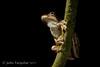 Emerald-spotted Tree Frog (Litoria peronii) (Jules Farquhar.) Tags: emeraldspottedtreefrog litoriaperonii frog hylidae litoria amphibian amphibia anura herpetofauna rainforest nsw midnorthcoast julesfarquhar