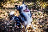 _DSC7418 (Ryan Ivy) Tags: cutter creek ranch wills point texas dogs border collies