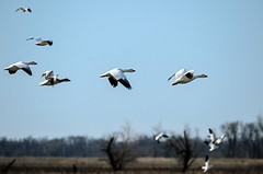 Snow geese migration (jc-pics) Tags: nikon d7000 sigma 150500mm geese snow water fowl birds nature migration