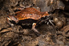 Red-backed Toadlet (Pseudophryne coriacea) (peter soltys) Tags: redbacked toadlet pseudophryne coriacea frog anphibia peter soltys australia photography wildlife adventure red backed