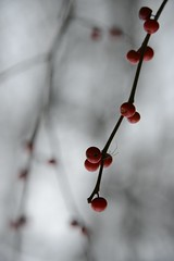 parallel universe (courtney065) Tags: nikond800 nature landscapes flora berries red blurred depthoffield branchlets artistic abstract autumn fall foliage