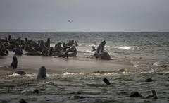 Cape fur seal colony, Pelican Point, Walvis Bay, Namibia (momathew) Tags: capefurseal colony sandbar walvisbay pelicanpoint mating seals ocean water sky southernafrica seascape mammal
