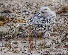 Snowy Owl (Bubo scandiacus) (JRWhitaker1) Tags: owl snowyowl delaware midatlantic sussexcounty buboscandiacus rarebird nature wildlife delawarebay fowlerbeach primehooknationalwildliferefuge birding birdwatching beach