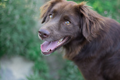 Chocolate (nnessies) Tags: dog photo canon photograph 50mm