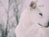 Take a look (Anja Schruba) Tags: snow husky huskymix winter winterscoming sauerland nrw lüdenscheid