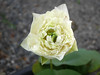 Sacred Lotus 'White Peony'  บัวหลวง 'ไวท์ พีโอนี่' 4 (Klong15 Waterlily) Tags: ไวท์พีโอนี่ whitepeony sacredlotus lotus nelumbo nelumbonucifera บัวหลวง บัวหลวงขนาดเล็ก บัวหลวงสีขาว