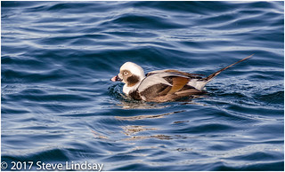 Male Long-tailed Duck. 14122017