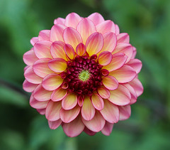 Dahlia (LuckyMeyer) Tags: dahlie flower fleur pink red green makro garden summer blume blüte plant
