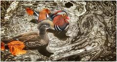 A pair of Mandarin duck (hussey411) Tags: mandarinduck photo photographer photography iphone7plus nature wildlife duck bird stockport uk