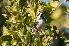 DSC_5625.jpg Black-throated Gray Warbler, Schwan Lake (ldjaffe) Tags: schwanlake blackthoatedgraywarbler