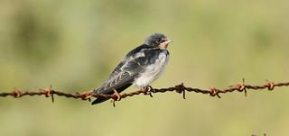 Swallow- juve