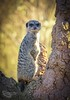 """""""The Meerkat and the Ant Hill"""" (cjpk1) Tags: meerkat ant hill lovely bokeh background sunny mammal ngc"""