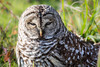 Barred Owl (lynne186) Tags: owl barred nature wildlife ground winter