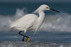 Snowy Egret (Jesse_in_CT) Tags: snowyegret nikon200500mm