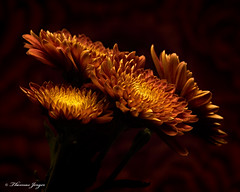 Autumn Mum Group 1105 Copyrighted (Tjerger) Tags: nature beautiful beauty black blackbackground bloom blooms brown bunch closeup cluster fall flora floral flower flowers green group macro mum orange plant portrait red wisconsin yellow mums natural