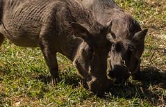 Oi!! You're in my spot! (zimbart) Tags: gorongosanationalpark mozambique africa chitengo fauna vertebrata mammals artiodactyla suidae phacochoerus phacochoerusafricanus warthog