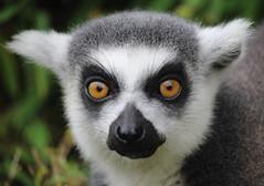 Lemur (nik.golding) Tags: lemur skunk animal close depth field depthoffield eyes eye girl boy nose wet ears fir fur stripe grey cotswold wildlife park black whiskers whisker explore explored ring tailed tail