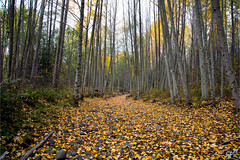November C1943 (All h2o) Tags: november fall autumn forest trees leaves path trail pacific northwest olympic peninsula nature landscape wood woods tree season color colors