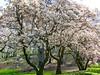 Flowering Spring Trees (Stanley Zimny (Thank You for 28 Million views)) Tags: tree bronx botanical garden flower seasons spring