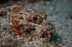 Watching (kyshokada) Tags: scorpionfish underwater scuba pacific philippines puertogalera diving reef wrecks camouflage animalplanet