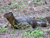 Thailandia Varano (scardeoni_fabrizio) Tags: thailandia varano animale rettile lucertola