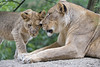 Mother and daughter (Tambako the Jaguar) Tags: lion big wild cat young lioness female mother cute together standing lying stone rock basel zoo zolli portrait nikon d5 love