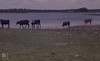 Cattle at new summer shoreline. Lough Coole (Mary Gillham Archive Project) Tags: 17528 bostaurus burren countyclare industry ireland mammal cow