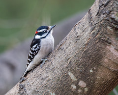 male Downy Woodpecker (wplynn) Tags: picoides pubescens male downy woodpecker castleton indianapolis indiana marioncounty wild bird