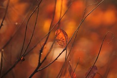 serie (SimonaPolp) Tags: leaves leaf autumn fall foliage red wood forest bokeh light macro