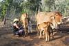 Maikal Hills - Chhattisgarh - India (wietsej) Tags: maikal hills chhattisgarh india farming sony a100 cows tamron sp af 1750mm f28 xr diii ld asp if 1750