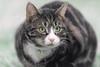'Snow Kitten Tiffin' (Jonathan Casey) Tags: snow winter kitten tabby nikon d810 400mm f28 vr