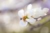 Magnolia (CecilieSonstebyPhotography) Tags: bokeh spring flowers closeup flower ef100mmf28lmacroisusm outdoor canon pastel botaniskhage markiii oslo macro beautiful canon5dmarkiii magnolia white botanicalgarden petal soft petals april