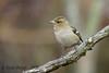 xxDSC_9793 (Eyas Awad) Tags: eyasawad nikond4 sigma500f45 nikond800 nikonafs300mmf4 bird birds birdwatching wildlife nature fringuello fringillacoelebs