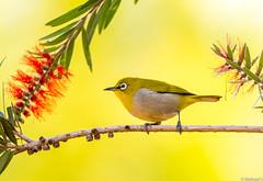 Oriental white-eye (Mohsan Raza Ali Baloch) Tags: nature birds birdlover birdwatcher wild wildlife color environment