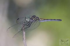 Micrathyria sp. (possibly M. atra) ( BlezSP) Tags: perudragonflies neotropicalodonata libelulas libellulidae madre de dios peru boca pariamanu fauna forever
