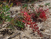 Grevillea bipinnatifida ssp bipinnatifida, Red Hill, near Perth, WA, 18/10/17 (Russell Cumming) Tags: plant grevillea grevilleabipinnatifida grevilleabipinnatifidabipinnatifida proteaceae redhill perth westernaustralia
