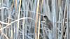 SLN_5960 (sonja.newcombe) Tags: wildlifeofaustralia australianreedwarbler australianbird bird birdsofaustralia