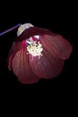 Abutilon 1 s (C. Burrows) Tags: uvivf flower botany nature abutilon