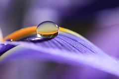 Beautiful day (alideniese) Tags: macro closeup waterdrop droplet water sunshine sunny sunflare refraction flower flora petal detail texture iris alideniese 7dwf hbw colour colourful purple yellow bokeh