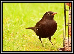 """Early Bird..."" (NikonShutterBug1) Tags: nikond7100 tamron70300mm birds ornithology wildlife nature spe smartphotoeditor birdfeedingstation bokeh blackbird 7dwf"