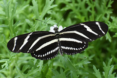 Butterfly 2017-165 (michaelramsdell1967) Tags: field beauty nature macro flower animals beautiful closeup plant butterfly animal pretty white green insect black vivid garden insects zebra zen detail vibrant bug butterflies striped bugs stripe upclose longwing