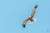 Western Marsh-Harrier (Circus aeruginosus)-2769 (Stein Arne Jensen) Tags: accipitridae aguilucholagunerooccidental arpella balearene balearicislands balearischeinseln bird bruinekiekendief brunkjerrhøk busarddesroseaux canonef100400f4556lisusm canoneos70d circusaeruginosus espagne espanya españa europa europe falconiformes fugl haukefamilien islasbaleares mallorca muro pajaro rohrweihe rovfugler salbufera sivhauk spain spania spanien steinarnejensen tsn559297 tartaranhãoruivodospauis vogel westernmarshharrier lintu oiseau ruskosuohaukka европа камышовыйлунь птица أوروبا مرزةالبطائح यूरोप ヨアロッパチュウヒ ヨーロッパ 歐洲 白头鹞 鳥 鸟 개구리매 유럽