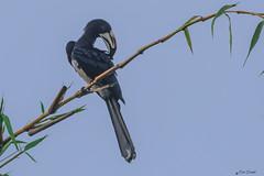 CALAO SUL BAMBU    ----    GREAT HORNBILL ON A BAMBOO (Ezio Donati is ) Tags: uccelli birds natura nature animali animals foresta forest alberi trees africa costadavorioarea birgenville